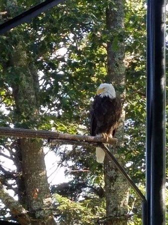 Grandfather Mountain : Eagle