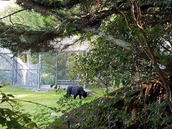 Grandfather Mountain : The bears were hiding