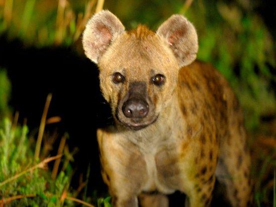 Makakatana Bay Lodge: Hyena, Western Shores, iSimangaliso Wetland Park