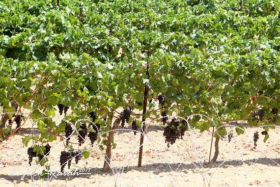 Beit Jala, Filistin Toprakları: Grape vines