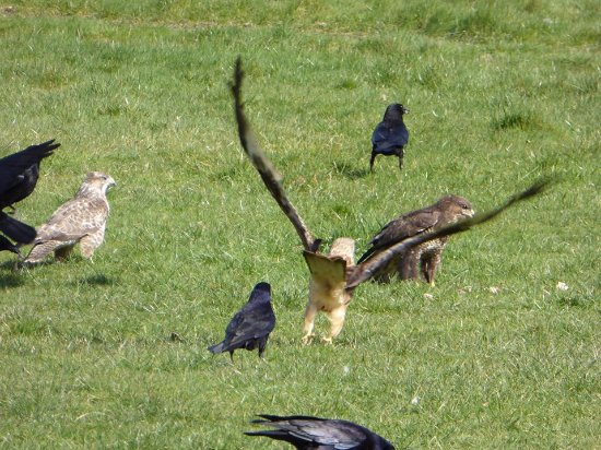 Rhayader, UK: Red Kite, and a couple of Buzzards