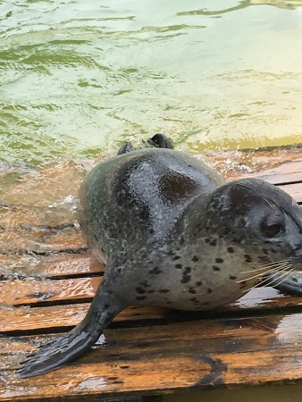 Gweek, UK: Seals at the Cornish Seal Sanctuary.