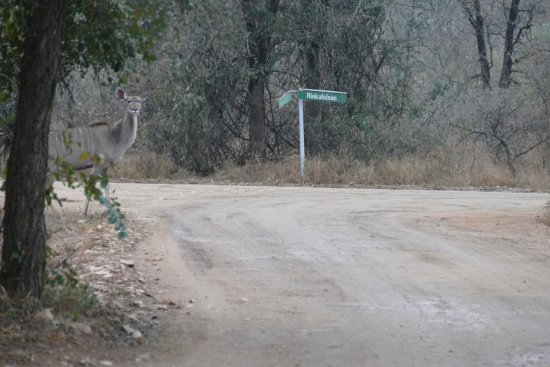 Marloth Park, Νότια Αφρική: Rondlopende Koedoe bij het restaurant