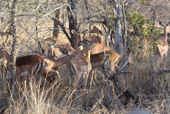 Amakhosi Safari Lodge: Safari