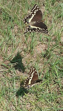Kill Devil Hills, Carolina del Norte: Tiger Swallowtail butterflies around the area