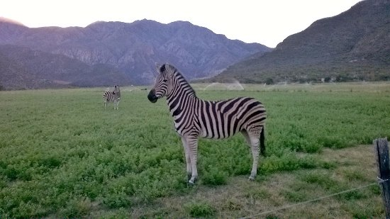 Calitzdorp, Afrique du Sud : The curious neighbours!