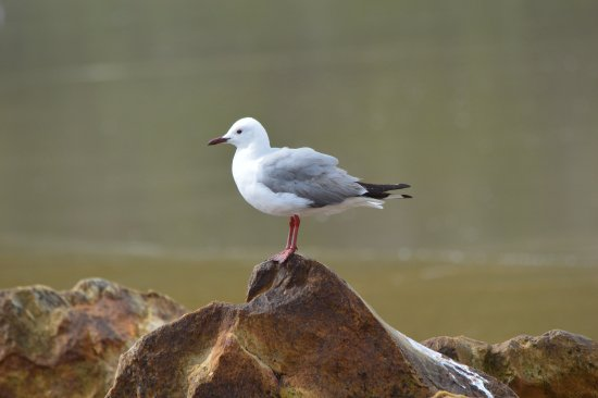Hermanus, Zuid-Afrika: Hartlaub gull resting on a rock