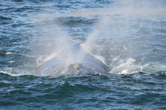 Hermanus, Sydafrika: Our beloved Southern Right Whale spotted from the Cliff Path