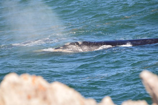 Hermanus, Sydafrika: Southern Right Whale