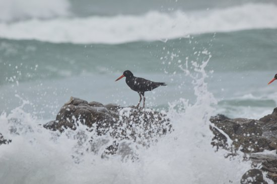 Hermanus, Sør-Afrika: Oyster Catchers braving the waves for a tasty morsel