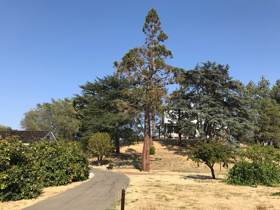 Martinez, CA: Sequoia tree planted by Muir from a seedling on the property.