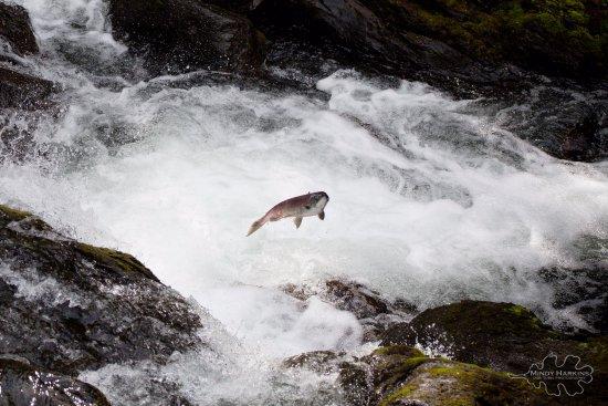 Cooper Landing, AK : Jumping salmon