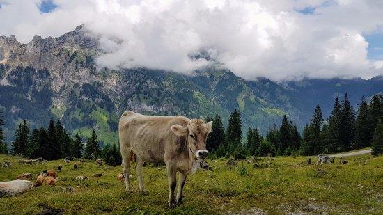 Nesselwaengle, Αυστρία: Bergkulisse mit Vieh