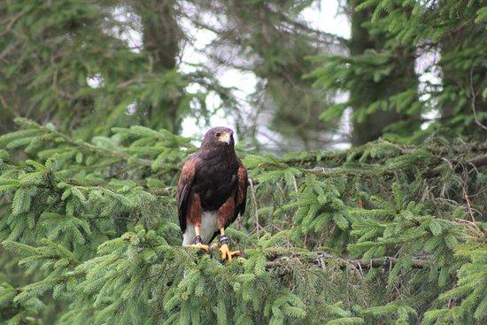 Blackford, UK: Harris hawk