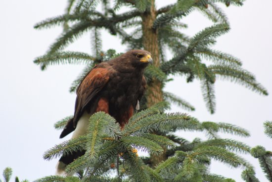 Blackford, UK: Hawk