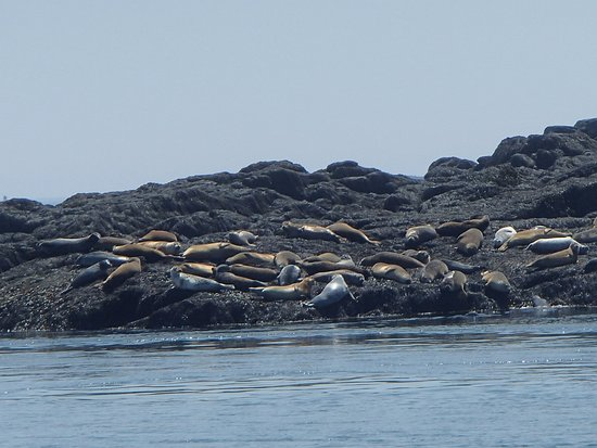 Saint Andrews, Canadá: Lots of seals