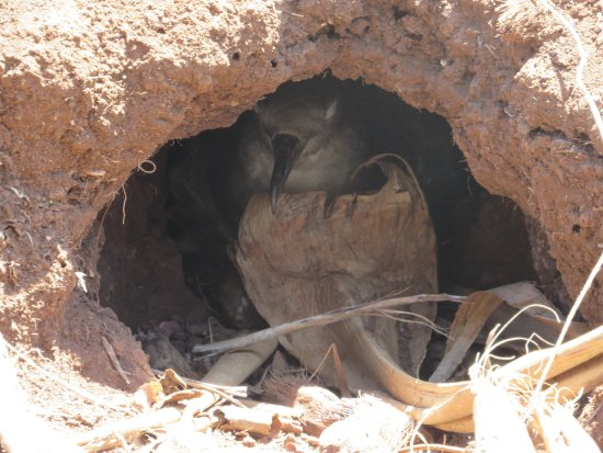 Kilauea, HI: Nesting bird
