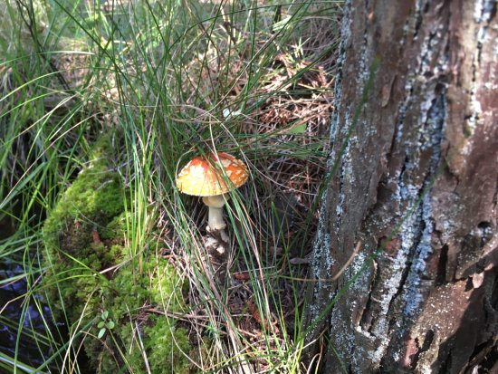 Shamong, NJ: Amanita muscaria (fly agaric). Highly toxic