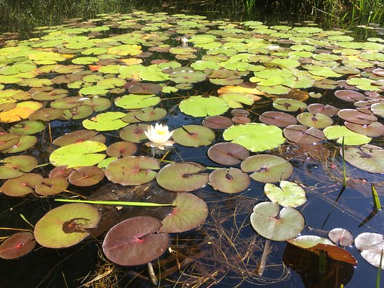 Shamong, NJ: Nymphea odorata (fragrant water lily)