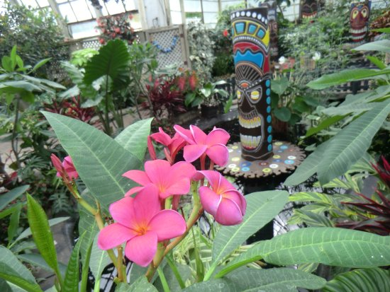 Lincoln Park Conservatory: pink plumeria