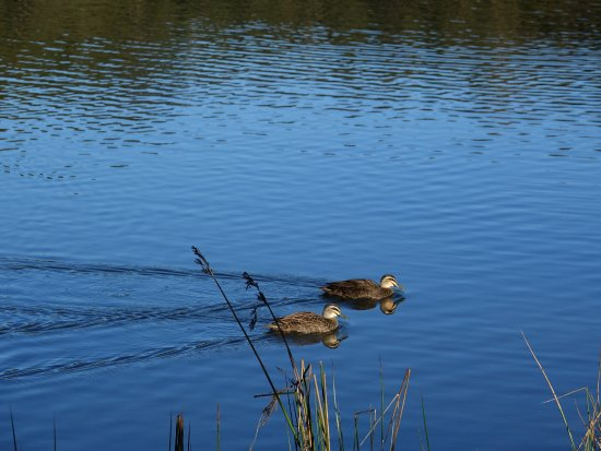 Ferntree Gully, Australia: A pair of ducks