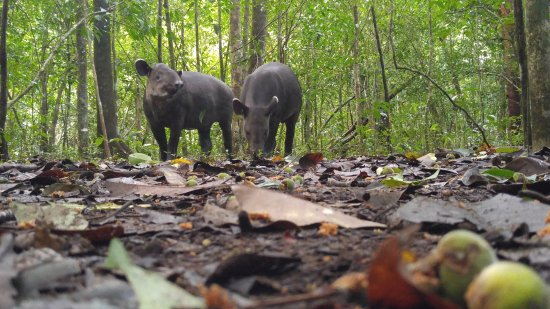 Пуэрто-Хименес, Коста-Рика: Tapirs - 3 meters away!