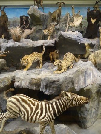 Musee d'Histoire Naturelle de Lille: Stuffed anymals in the museum of natural sciences in Lille.