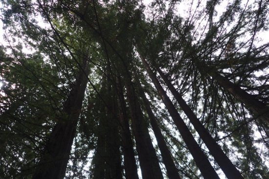 Skunk Train: View of Redwoods from Observation Car
