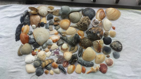 Beaufort, Carolina do Norte: Shells collected at Cape Lookout Point