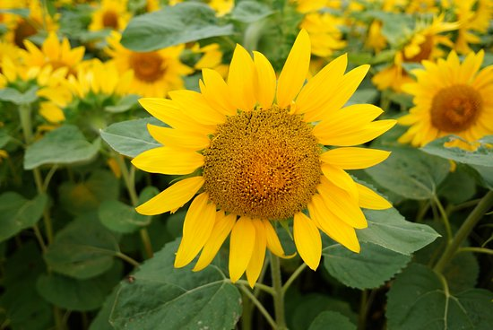 Ozora-cho Sunflower Farm