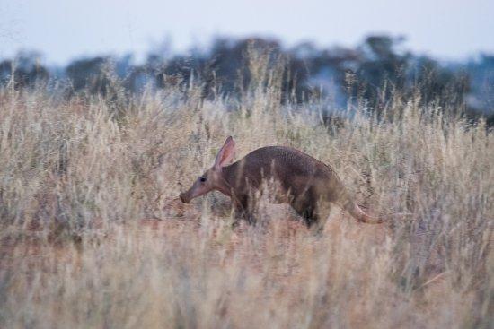 Tswalu Kalahari Game Reserve, Sudáfrica: Tswalu Kalahari - Aardvark