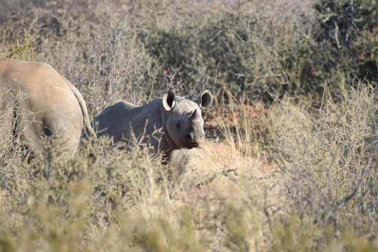 Tswalu Kalahari Game Reserve, Sudáfrica: Tswalu Kalahari - Desert Black Rhino