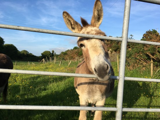 Seamount Farmhouse Bed & Breakfast: friendly donkey