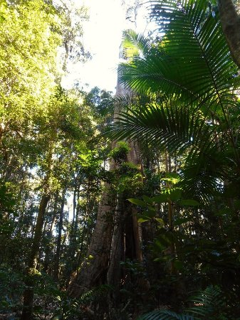 Maleny, Avustralya: Old trees are fascinating to see.