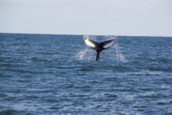Cape May Whale Watch & Research Center: Humpback whale