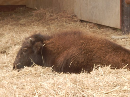 Longhorn Park: Buffalo calf
