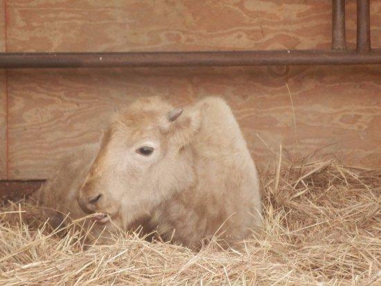 Longhorn Park: White buffalo calf