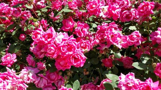 Hendersonville, NC: Burn't Shirt Roses
