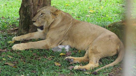 A'Famosa Resort Hotel Melaka: One of the resident lion at the Safari Park.