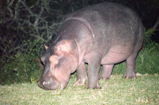 St Lucia Ecolodge and Conference Centre: Hippo grazing on lawn at night outside the restaurant.