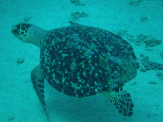 Frederiksted, St Croix: First turtle I saw, pretty sure it's a green Sea Turtle