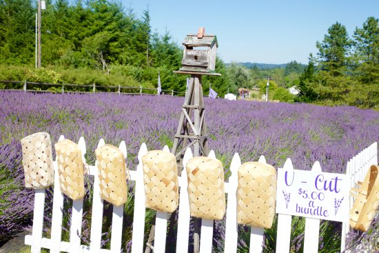 Castle Rock Lavender: PYO Lavender bunches