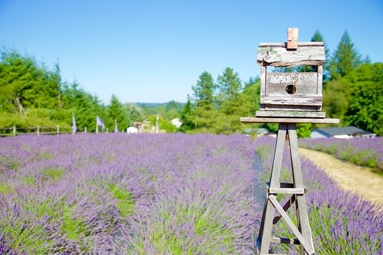 Castle Rock Lavender: Looking at the PYO rows of lavender