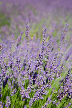 Castle Rock, WA: Lavender everywhere