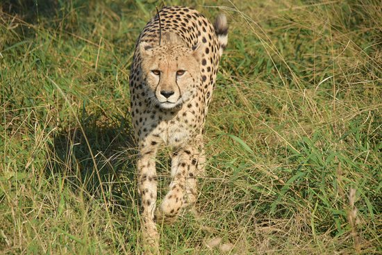 Heritage Day Tours & Safaris: Cheetah approaching our van while fleeing from a pack of African Wild Dogs.