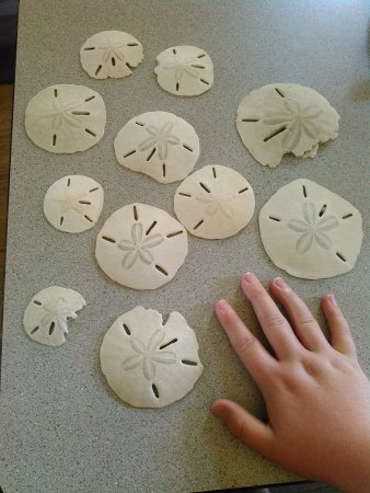 Morehead City, Karolina Północna: some sand dollars we found (unfortunately we broke a lot more of them)