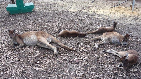 Byford, Australien: sleeping kangaroos