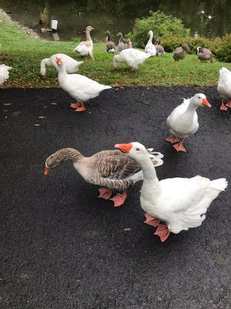 Milton, Нью-Йорк: The friendly geese that greet you as you stroll the grounds of the inn.