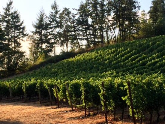 Newberg, OR: Summer in the vineyard