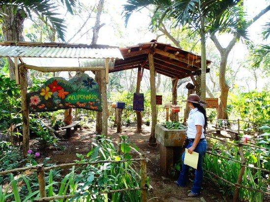 Dolores, Nicaragua: Meliponareo, parte del sendero del café visita las abejas sin aguijón